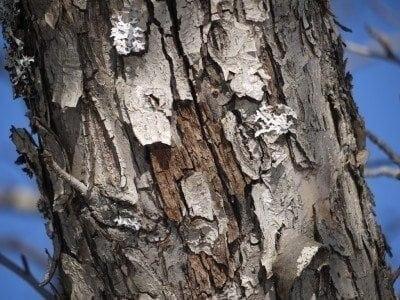 پوسته شدن تنه درختان