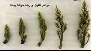 مراحل تلقیح و رشد گل پسته