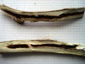 خسارت پروانه چوبخوار