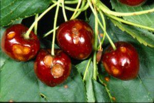 سوراخ شدن میوه