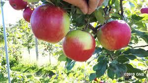 تاثیر نور در رنگ پذیری میوه سیب