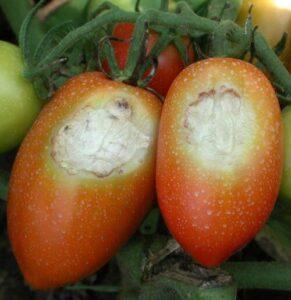 افتاب سوختگی گوجه فرنگی